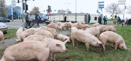 Lieke zag vrachtwagen vol varkens kantelen: 'Dat gegil vergeet ik niet snel meer'