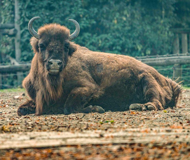 De Europese Bizon of Wisent is het grootste zoogdier van Europa en een bedreigde diersoort.