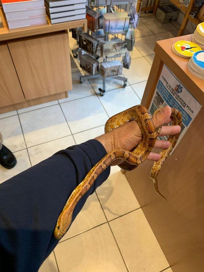 Le serpent inoffensif pour l'homme s'est probablement échappé d'un terrarium