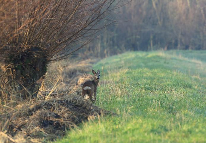 In 1971 verschenen de eerste reeën in de Biesbosch.
