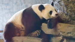 Reuzepanda succesvol geïnsemineerd: Pairi Daiza duimt voor babypanda deze zomer