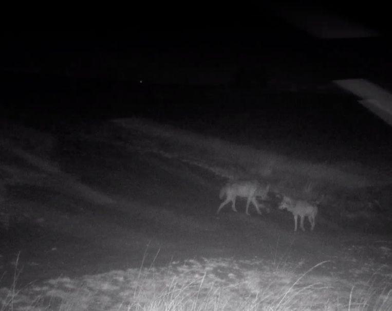 De wolven August en Noëlla