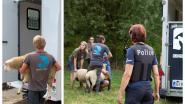 82 schapen voor Offerfeest in beslag genomen op boerderij nabij Luik