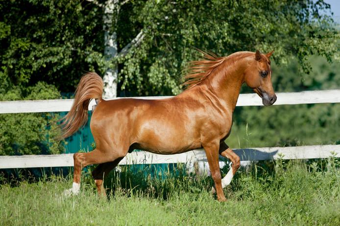 Een Arabisch paard ter illustratie.