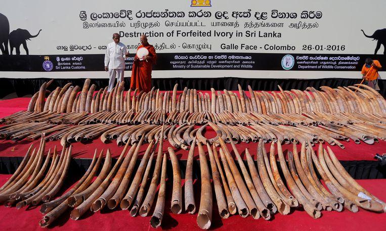 De Srilankaanse autoriteiten toonden afgelopen januari een lading in beslag genomen slagtanden voordat ze werden vernietigd. De slagtanden waren waarschijnlijk afkomstig uit Noord-Mozambique en Tanzania, en werden gesmokkeld via Sri Lanka. De waarde wordt geschat op ruim 2,2 miljoen euro. Beeld AP