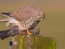 Het is extra aanpoten bij Vogelrevalidatiecentrum Zundert: 50 tot 100 zieke dieren per dag