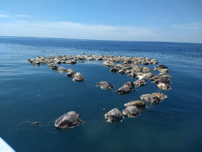 300 dode warana-zeeschildpadden drijven in de zee bij het Mexicaanse Barra de Colotepec. Ze waren verstrikt geraakt in een illegaal visnet.