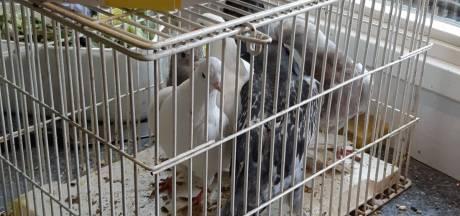 Politie Deventer druk met gestolen duiven en pluimvee