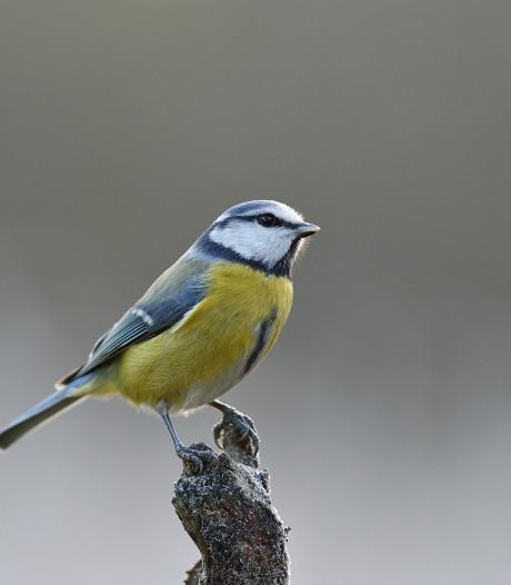 Pimpelmees en kauw fladderen top vijf nationale tuinvogelteldag binnen