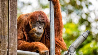 In haar eentje gezorgd voor orang-oetans overal ter wereld