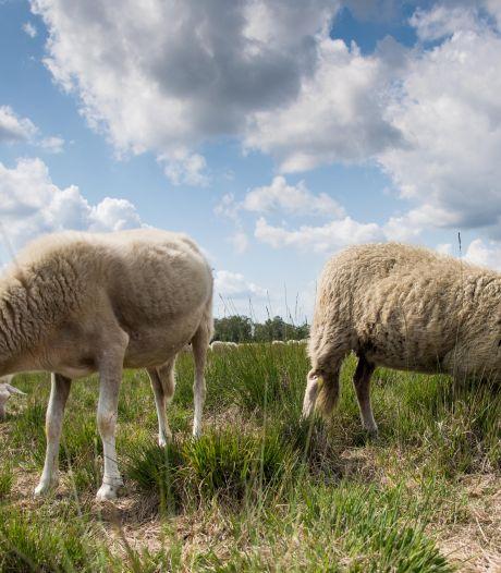 Schaapherders zien weinig heil in preventieplan: 'Vraag me niet af of, maar wanneer wolf toeslaat'