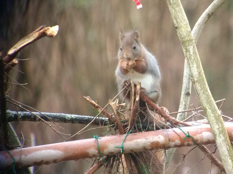 Eén van de eekhoorns in het park van Hof Ter Saksen, die met veel plezier met de aandacht van de vogelspotters gingen lopen.
