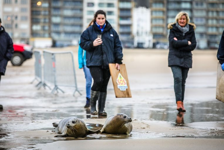 Blankenberge vrijlating 2 zeehonden