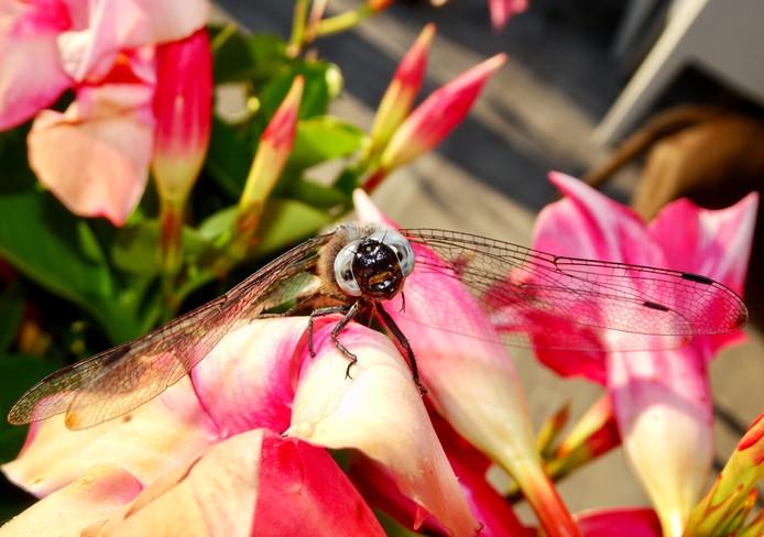 Met zijn grote ogen staart de libelle in de camera. Het insect heeft iets buitenaards.