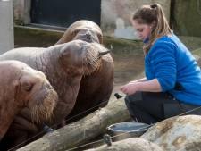 Fanclub Dolfinarium schrikt van mogelijk vertrek 'iconische' walrussen: 'Uniek in Nederland'