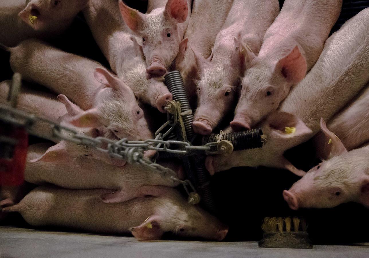 Varkens in Nood: accijns op varkensvlees voor innovatie