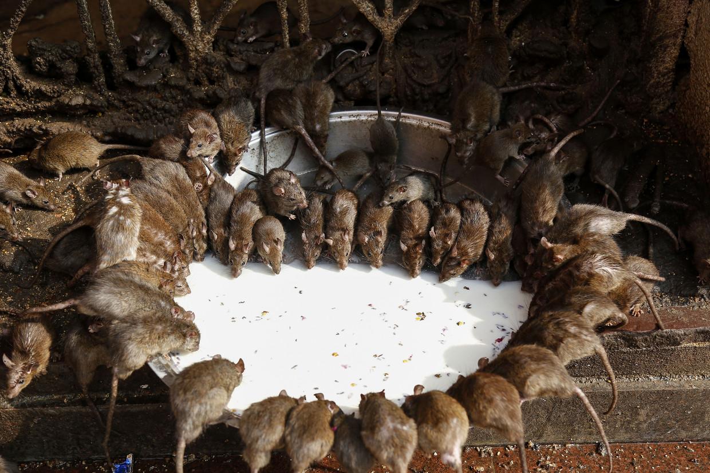 Ratten drinken melk uit een kom in de buurt van een tempel in India.