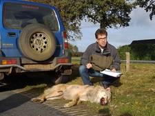 Dode wolf Kloosterhaar is 3 jaar oud mannetje: 'Hij was op slag dood'