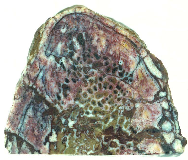 Zacht weefsel in 195 miljoen jaar oud dinobot: microscoopfoto van de rib in kwestie, met de haarvaatjes er duidelijk zichtbaar nog in. Beeld Robert Reisz, Nature