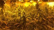 Cannabisplantage met 230 planten ontdekt in Oostende, 7 verdachten gearresteerd
