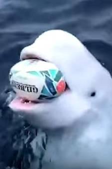 Il joue au rugby avec un béluga dans l'océan Arctique