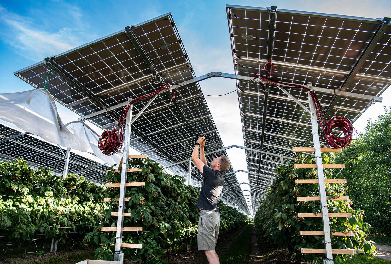 Pierre Albers onder zijn zonnepanelen. De installatie beschermt de frambozenstruiken en levert stroom op voor zo'n honderd huishoudens.