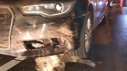 Bestuurder rijdt in één klap negentien everzwijnen dood in Heusden-Zolder
