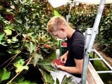 Fruitplukken als vakantiebaantje? Busje brengt je naar werkplek