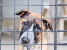 Aangifte tegen hondenhandelaar uit Diessen wegens import Oost-Europese puppy's