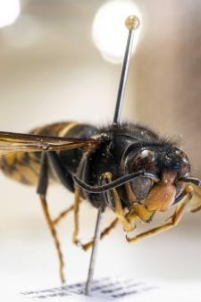 Drone ingezet bij onderzoek naar nest van 'monsterwesp' in Veenendaal