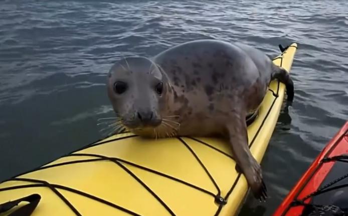 De zeehond klimt achterop een van de kajakken.