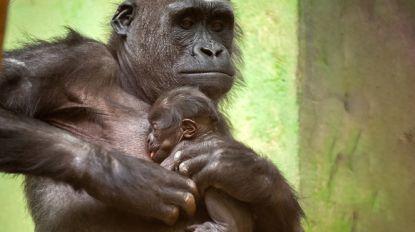 Maak kennis met Thandie, de gorillababy van Zoo Antwerpen