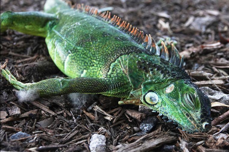 Door de koude temperaturen in Florida gaan de dieren in een soort slaap waardoor ze uit bomen kunnen vallen.