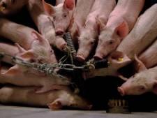 D66 Noord-Beveland start petitie tegen intensieve veehouderij: 'straks meer beesten dan inwoners op ons eiland'