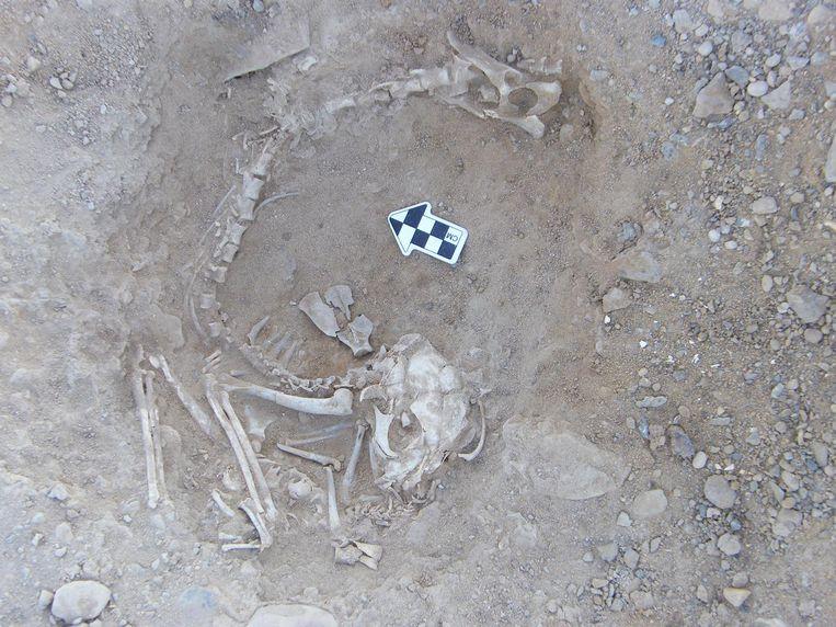 Archeologische resten van katten uit de oudheid. Beeld KU Leuven