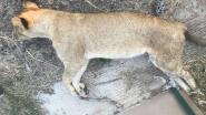 Vier leeuwen onthoofd en hun twee welpjes vergiftigd in Zuid-Afrikaans natuurpark