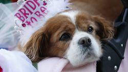 Achtergelaten in bos, bijna een spuitje, 805 km gependeld naar Canada en nu koninklijke luxe: het sprookje van Meghan Markle's hond