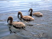 Droogte helpt vos om flamingo-eieren in Zwillbrock te roven