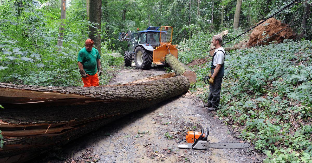 Eiken Boomstammen Te Koop.140 Omgehakte Bomen Te Koop In Het Meerdaalwoud Oud