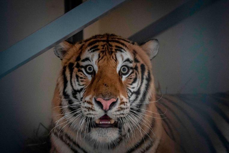 Samson is een van de tijgers die tijdelijk werd opgevangen door de zoo van Poznan.