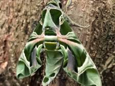 Dit is hem dan: de zeer zeldzame oleanderpijlstaart van Kwadendamme