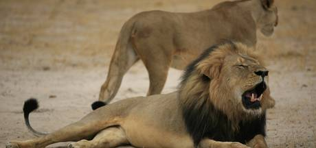 Trump verklaart ook leeuwen vogelvrij: koppen mogen als souvenir mee naar VS