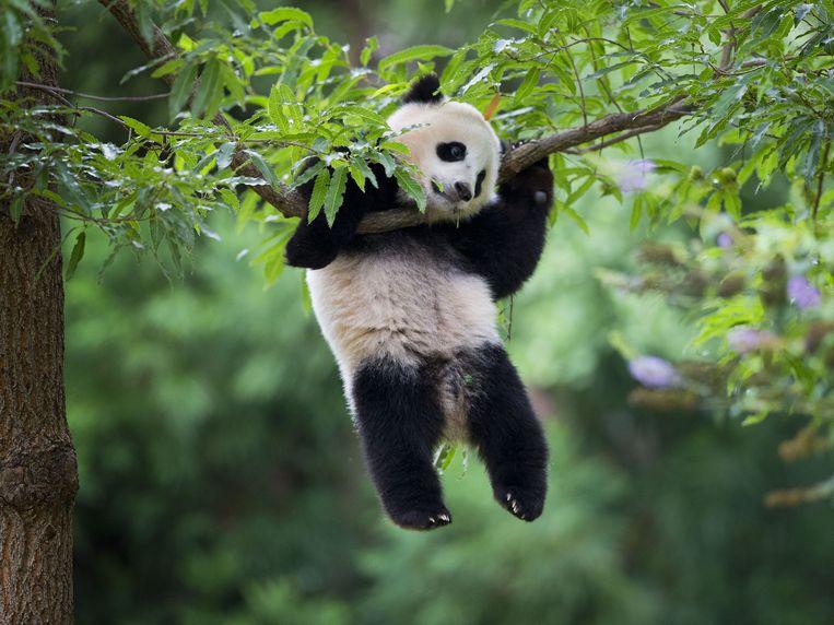 Pandawelp Bao Bao, vorig jaar augustus in de National Zoo in Washington. Beeld ap
