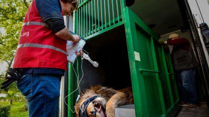 Leeuwen uit 'slechtste dierentuin van Europa' onderweg naar Nederland