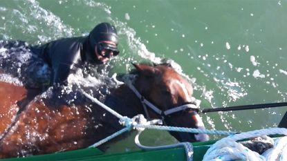 Ondertussen in Koksijde: paard zwemt voorbij vissersboot... 1 kilometer van de kust