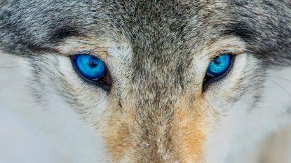 Wolf op de dool in Engeland nadat kooi in storm beschadigd raakte
