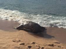 Enorme schildpad aangespoeld op Spaans strand