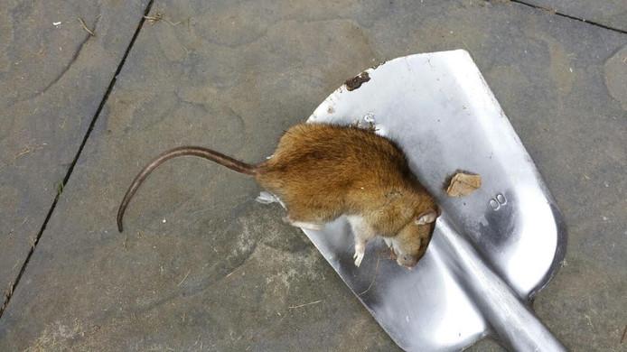 Een in Tilburg gevangen rat. Foto Muizendokter