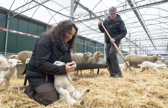 Susanne Lejuez voert een lammetje bij, terwijl echtgenoot Wim Schraven het stro fatsoeneert. Het echtpaar heeft hoge verwachtingen van Heideboerderij Haarle.
