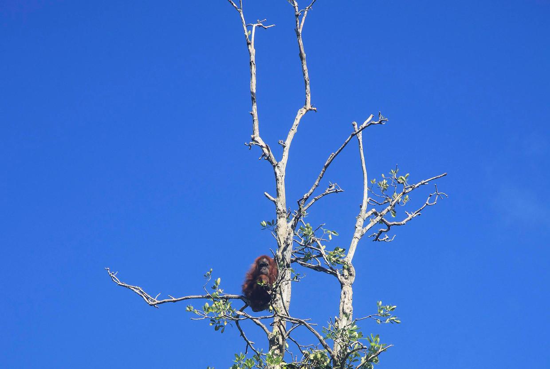 Het sterke beeld dat veel in de discussie bepaalt: een orang-oetan in een boom die wordt gekapt in Indonesië.
